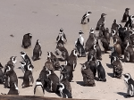 Penguins at Boulders Beach, Cape Town.