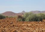 Antelope in front of hills, Kunene Region, Namibia.