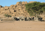 Elephants in front of rocky hill, Kunene region, Namibia.