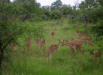 Impalas in Kruger Park, South Africa.