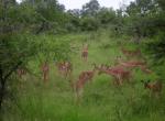 Impalas in Kruger Park, South Africa.