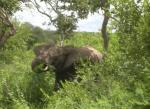 Elephant in Kruger Park, South Africa.