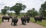 Rhinos in Kruger Park, South Africa.