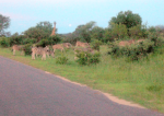 Zebras and giraffe, Kruger Park, South Africa.