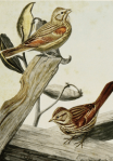 Illustration by Louis Agassiz Fuertes from The Burgess Bird Book for Children.